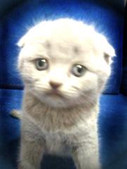 Что такое «кошачий конвейер», или где можно приобрести котёнка?